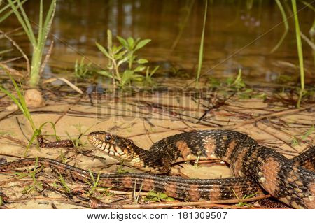 A Banded Water Snake basking at the edge of a pond.