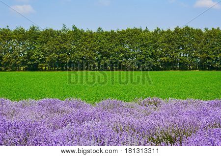 Lavender in front of Green Field and Trees