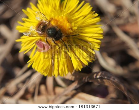 Wasp Collects Nectar On A Flower.