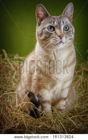 An Outbred Cat Sitting in the Hay