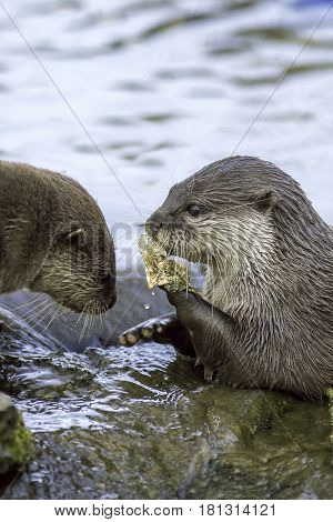 Animals and River Pollution. Otters eating a discarded plastic sweet wrapper. Showing human litter as a danger to wildlife. An environmental concern.