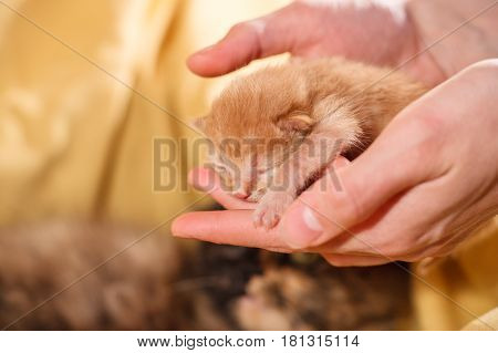 Just new born red kitten in female hands and a mother cat on a background with a yellow cotton.