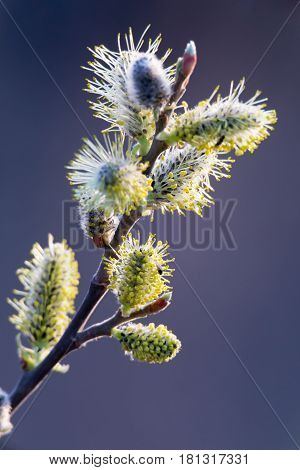 Inflorescence willow or willow catkin. Symbols of Palm Sunday for Orthodox Christians