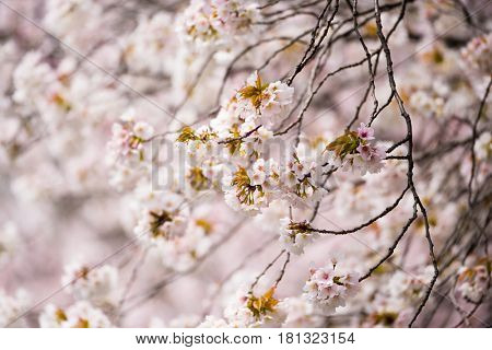 Cherry blossom in full bloom. cherry flowers in small clusters on a cherry tree branch with distinctive branches.