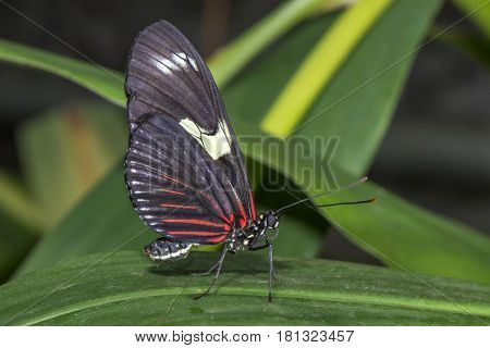 Doris Longwing Perched On A Leaf Close Up