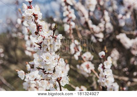 Branch of a flowering apricot. Spring time. Apricot trees branches covered of flowers blossoms and buds