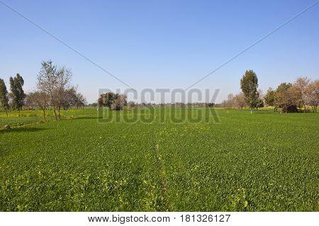 Wheat Crop In Rajasthan
