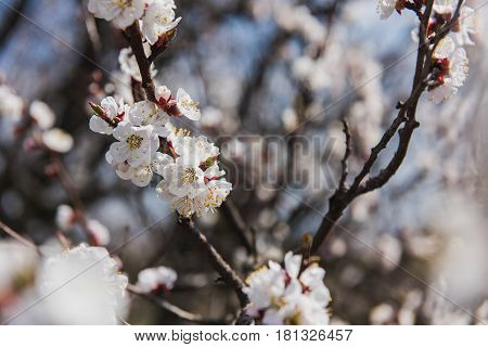 Close-up of a branch of a blossoming apricot. Spring time. Apricot tree flower seasonal floral nature background.