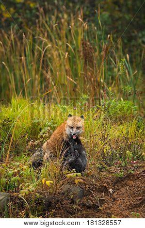 Red Fox (Vulpes vulpes) Pins Silver Fox - captive animals