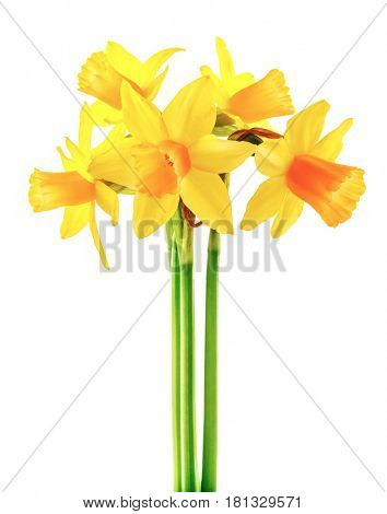 Spring flower narcissus yellow bouquet with green branch and flower-growing gerdening, isolated on white background.