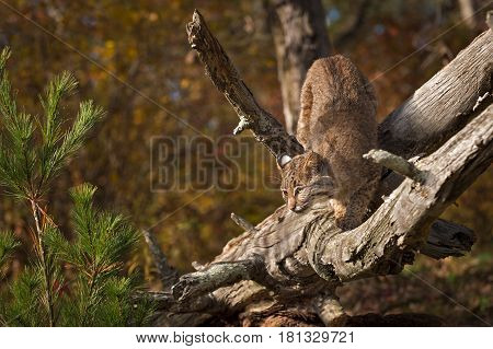 Bobcat (Lynx rufus) Crouch Turned on Branch - captive animal