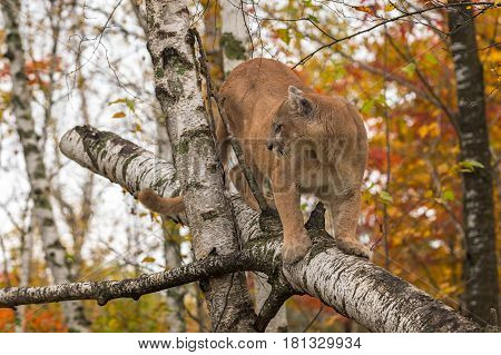 Adult Male Cougar (Puma concolor) Looks Left From Birch Tree - captive animal