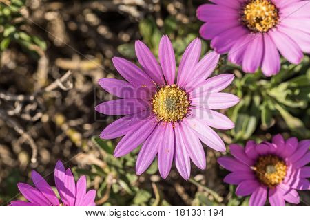 Osteospermum, beautiful pink flower for the daisy bushes familly