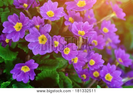 Spring flower landscape - spring flowers of Primula juliae also known as Julias primrose or purple primrose, closeup of spring flowers in the spring forest. Spring flower background