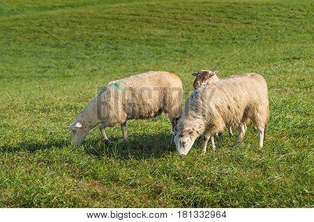 Sheep (Ovis aries) Grazing - at dog herding trials