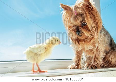 Yorkshire terrier looking on little yellow chick