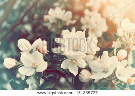 Spring blooming apple flowers - natural spring flower background in vintage tones. Picturesque spring flowers of blooming spring apple tree. Spring vintage landscape of spring apple garden