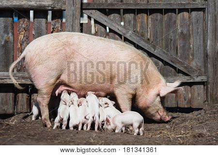 Pigs on the farm. Little piglets with mother. Household. Lovely pets. White piglets. Big pig on the farm