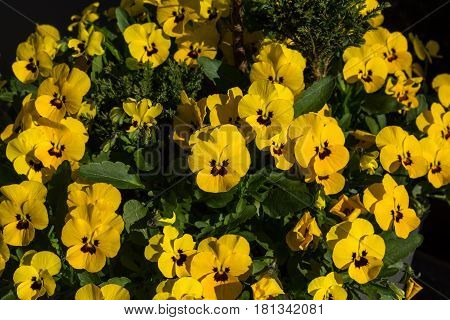 Horned Violet, Yellow Viola Planted In A Pot