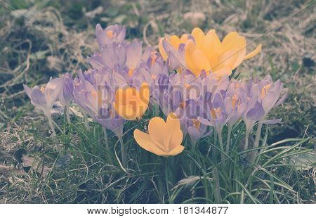 crocus on a glade toning.Muscari flowers in the spring. Close up in a sunny day