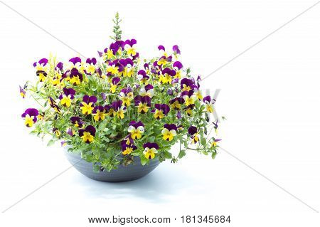Tricolor Pansy Flower Plant On A Gray Pot Isolated In White Background Studio