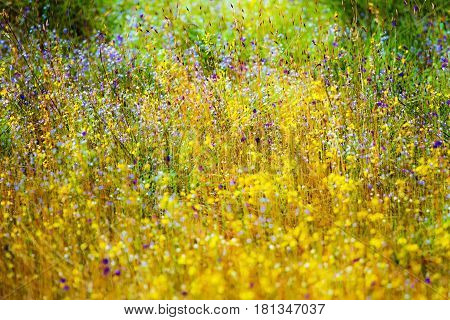 Beautiful outdoor blooming at field Utricularia delphinoides Thor.ex Pell. flower at Mukdahan Nation Park Thailand.