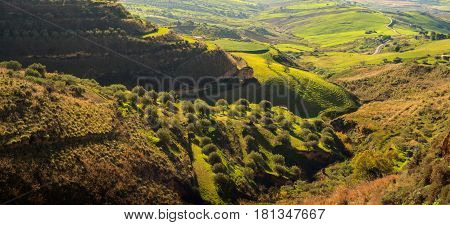 View of olive grove in the sicilian countryside