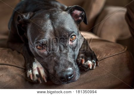 A Dog Lies On The Couch And Looks Pitifully At The Camera