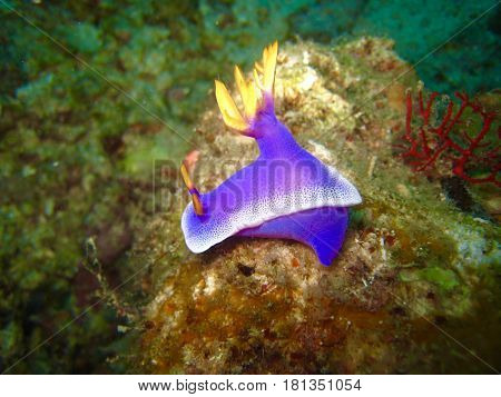Close up Blue nudibranch in coral reef underwater background