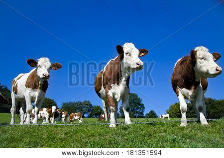 Cows In A Green Field. Three Cute Cows In The Foreground Close-up.