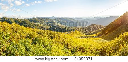 Mexican Sunflower Field Panorama