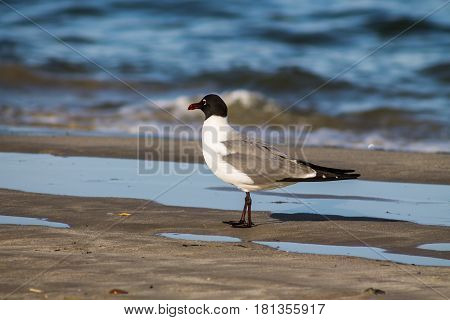 Side view of a laughing gull (Leucophaeus atricilla) on a beach at the shoreline.