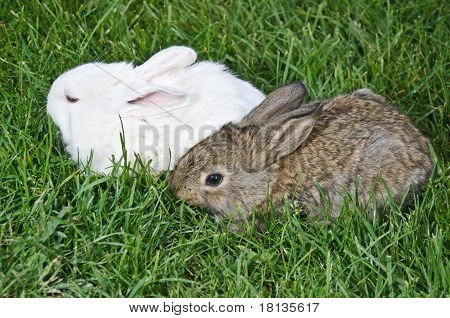 Bunny Couple In Grass