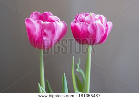 Two soft vibrant pink tulips under airy natural light closeup spring concept