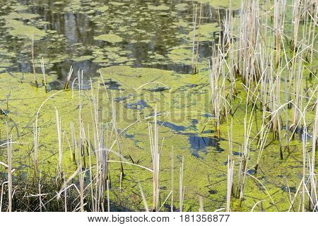 Standing marsh water with green algae floating on the surface between the grasses and reeds