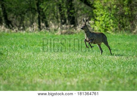 Young roebuck running on a meadow in sunny day
