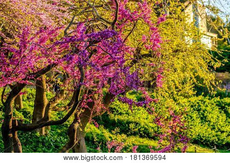 Blossoming peach tree at Montjuic hill in spring day. Barcelona, Catalonia.