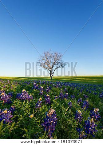 A Blue Bonnet Field with blue sky Ennis Texas