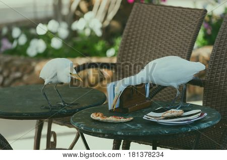 Cute wild birds with white feathers plumage and long orange beaks eating pizza food leftovers from plate on tables with brown chairs in outdoor cafe on sunny summer day on natural background