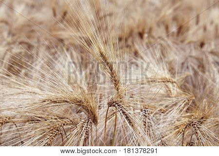 amazing background of ripe wheat ears in the cultivated field in summer