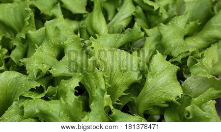 Leaves Of Tender Fresh Lettuce On Sale In The Farm That Produces