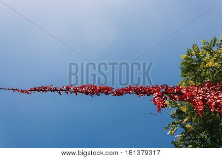 red leaves creep on wire in a sky background