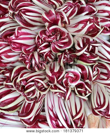 Variety Of Treviso Late Purple Radicchio