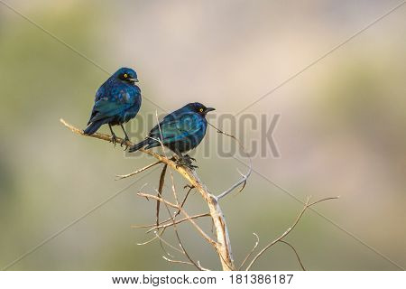 Greater blue-eared glossy-starling in Kruger national park, South Africa ; Specie Lamprotornis chalybaeus family of Sturnidae