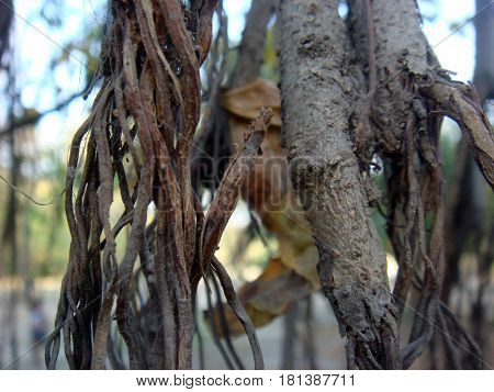 Close up of banyan tree trunk and branches