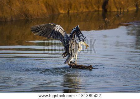 Grey heron in Kruger national park, South Africa ; Specie Ardea cinerea family of Ardeidae