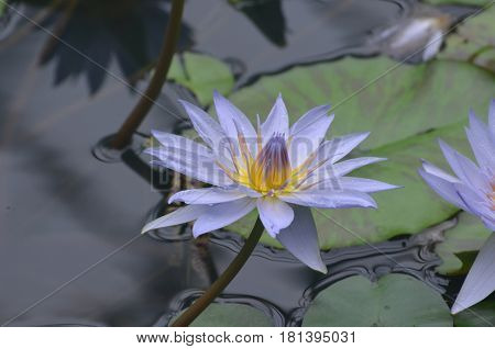 Water garden with a lavender colored water lily flowering.