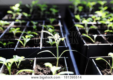 tomato seedling in sunny rays growing in boxes spring farmer cares