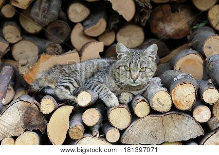Detail of the cat resting on a heap of logs