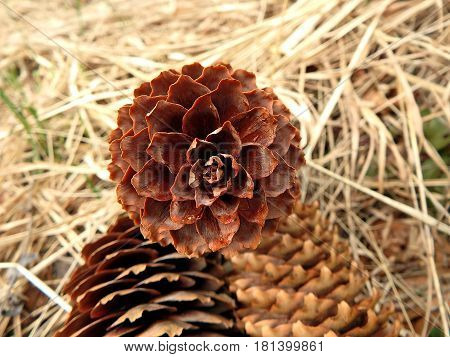 spruce cones on natural background , spruce cones